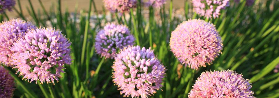 Allium Ballon Bouquet