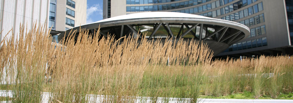 Grasses Blooming on Green Roof on Nathan Phillips Square at Toronto City Hall